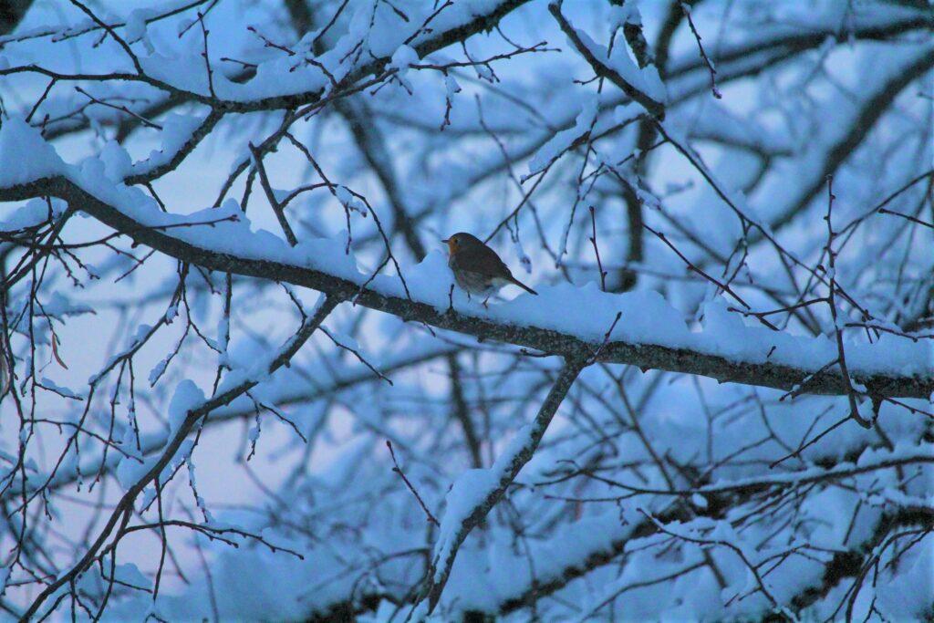Rouge gorge sur branche enneigée